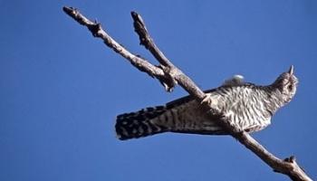 Ptica kukavica – legenda o nastanku